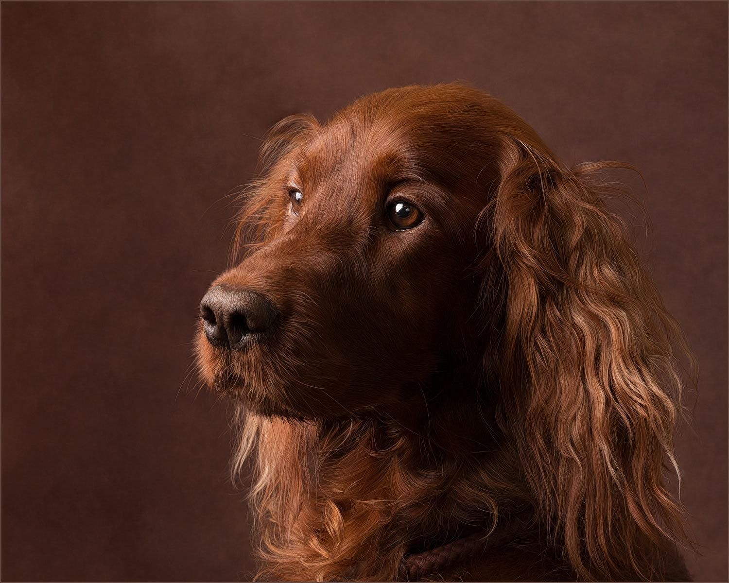 irish setter dog photography market harborough