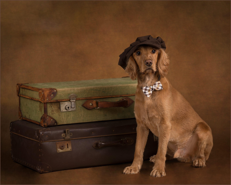 spaniel with suitcases dog photographer market harborough