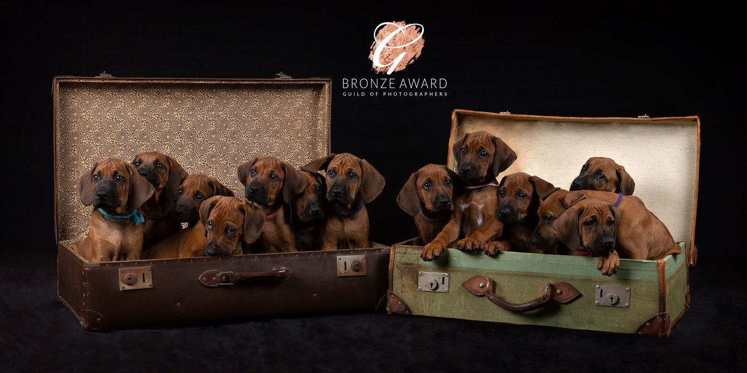 Rhodesian Ridgeback puppies in two suitcases