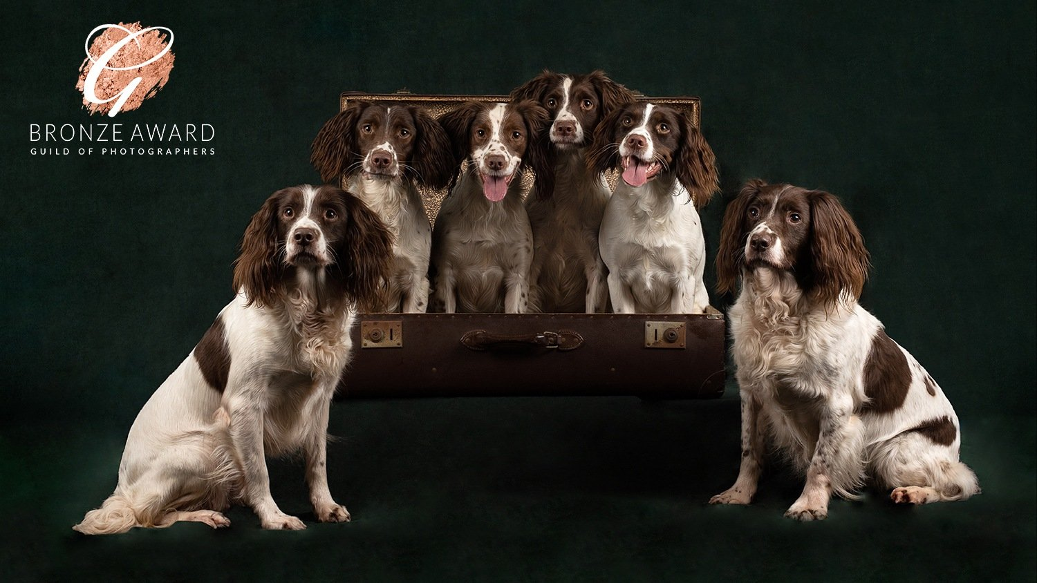 springer spaniel group portrait market harborough