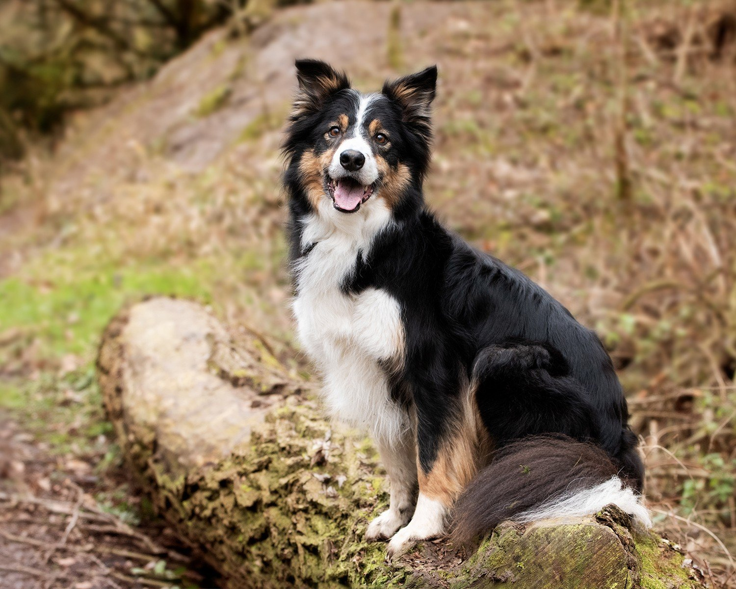 collie dog photography