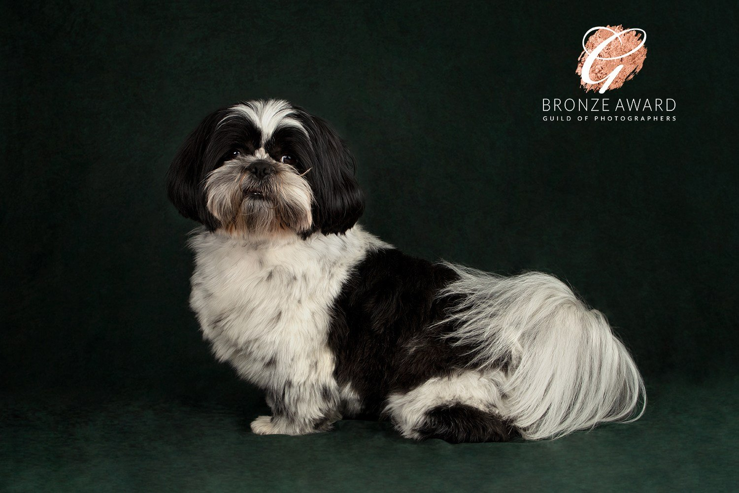shih tzu photography