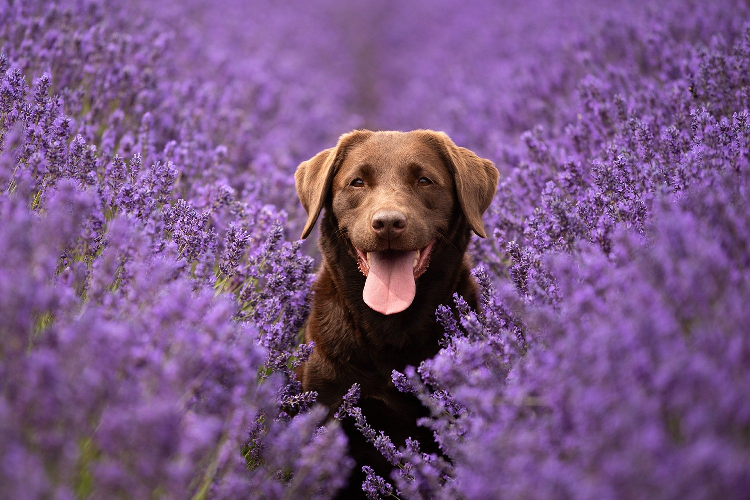 labrador in lavender dog portrait
