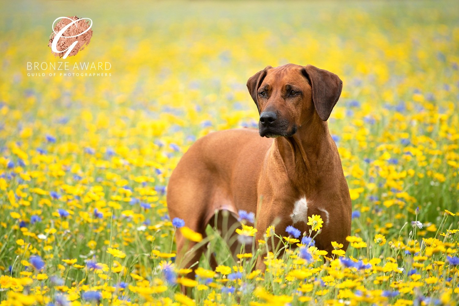 rhodesian ridgeback in wildflowers