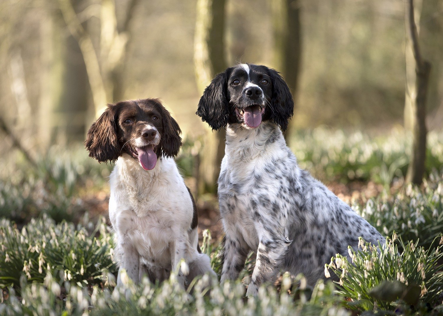 two spaniels in snowdrops and woodland