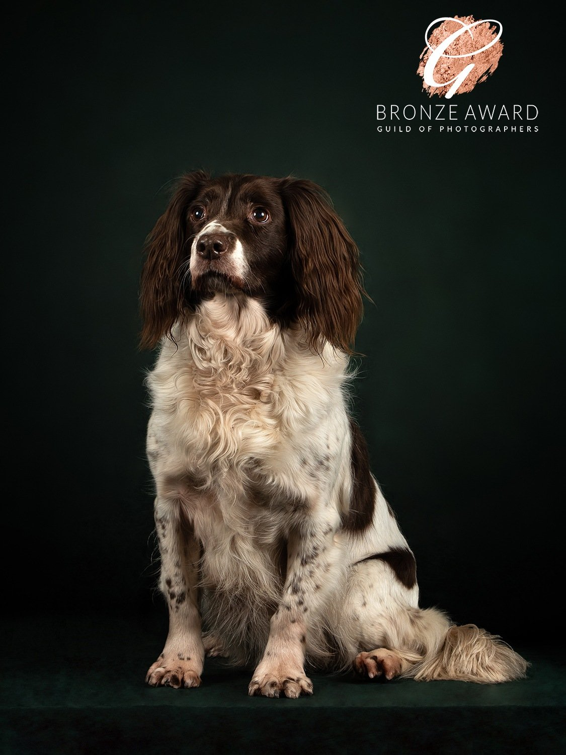 springer spaniel photography