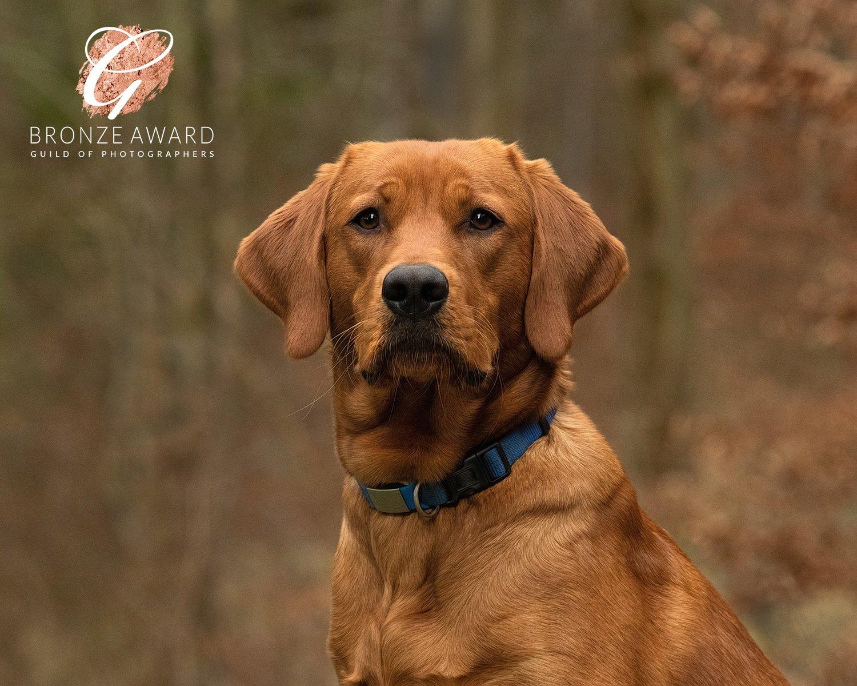fox red labrador puppy portrait