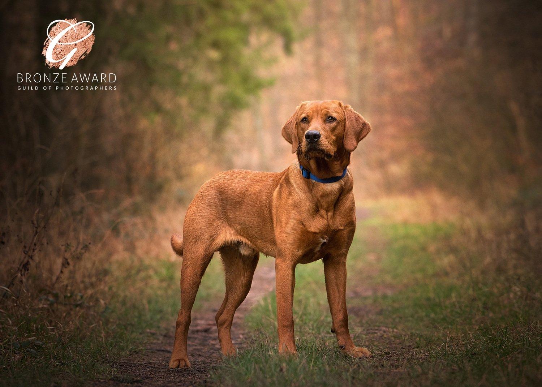 fox red labrador puppy portrait market harborough